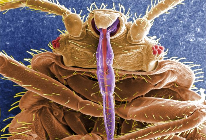 Bed Bug Feeding Habits - Cimex Lectularius