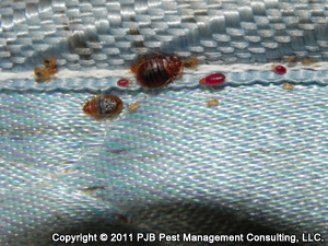 Bed Bug Behavior - Cimex Lectularius Behavior