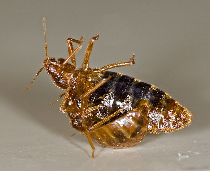 Bed Bug Reproduction - Cimex Lectularius Reprodcution